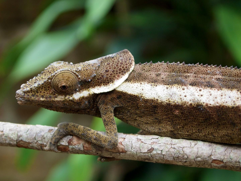Chameleon Calumma cuculatum