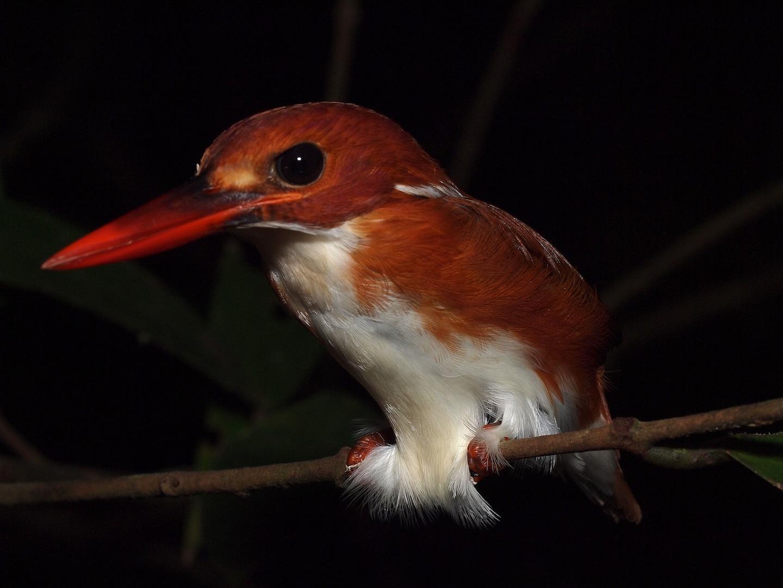 Pygmee kingfisher, Nosy Mangabe