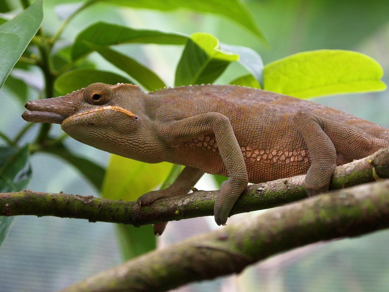 Chameleon Furcifer bifidus